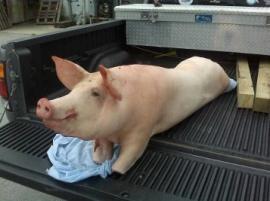 CP's First Pig!